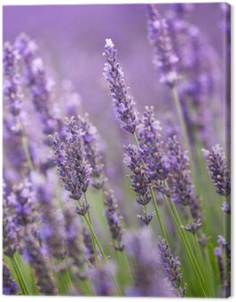 Canvas Print Lavander flowers