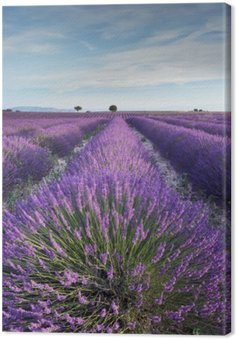 Canvas Print Lavender field in Provence during early hours of the morning