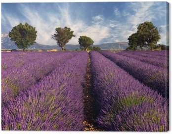 Lavender field in Provence, France Canvas Print