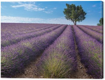 Canvas Print Lavender field in Valensole plateau, Provence (France)