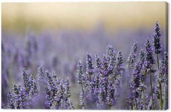 Lavender flower field. Close up. France. Canvas Print
