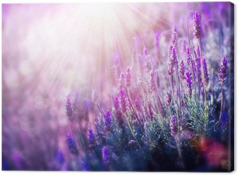 Lavender Flowers Field. Growing and Blooming Lavender Canvas Print