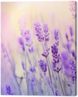 Lavender lit by sun rays Canvas Print