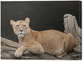 Lioness on a tree trunk Canvas Print