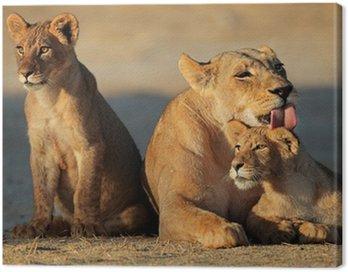 Lioness with cubs, Kalahari desert Canvas Print