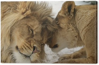 Love's Secret. Lion and lionness (Panthera leo)