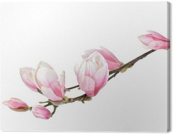 Canvas Print Magnolia flower branch isolated on a white background