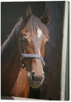 Canvas Print Nice purebred horse watching in his stable