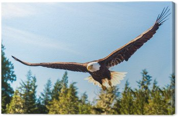 North American Bald Eagle in mid flight, hunting along river Canvas Print