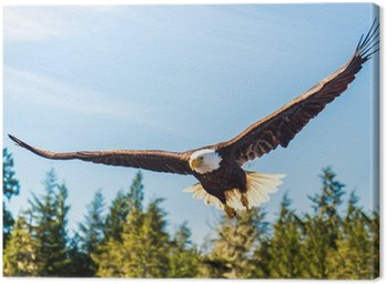 North American Bald Eagle in mid flight, hunting along river