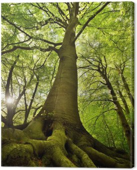 Canvas Print Old Beech Tree