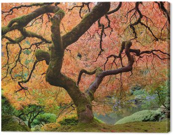 Canvas Print Old Japanese Maple Tree in Fall