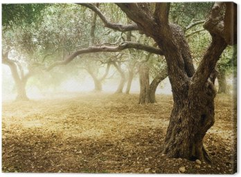 Canvas Print Old Olive Trees