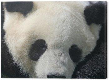 Panda bear eating bamboo Canvas Print