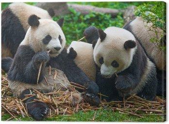 Panda bears eating together Canvas Print