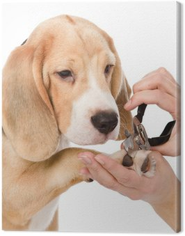 Canvas Print person cutting dog toenails. isolated on white background