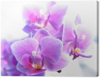 Canvas Print phalaenopsis
