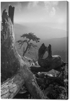 Pinetree on a monuntain hill. Black and white