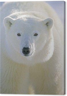 Canvas Print Polar Bear, Churchill, Manitoba, Canada.