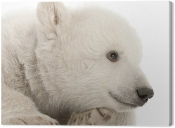 Canvas Print Polar bear cub, Ursus maritimus, 3 months old, lying