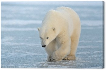 Canvas Print Polar Bear walking on blue ice.