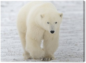 Polar bear walking on tundra.