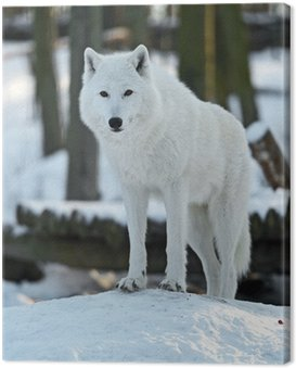 Canvas Print Polar wolf