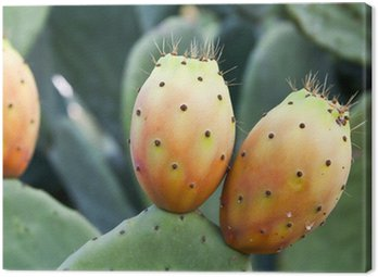Canvas Print prickly pear on cactus