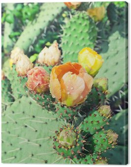 Canvas Print Prickly pear plant (cactus) in blossom after rain