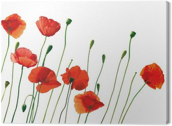 Canvas Print red poppies isolated on white