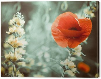 red poppy flower at garden sunset