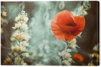 red poppy flower at garden sunset