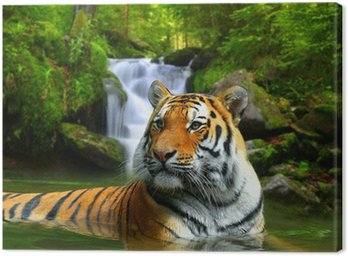 Canvas Print Siberian Tiger in water