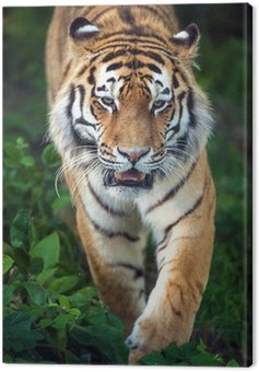 Canvas Print Siberian Tiger