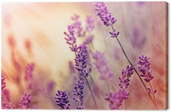 Canvas Print Soft focus on beautiful lavender and sun rays - sunbeams