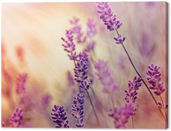 Soft focus on beautiful lavender and sun rays - sunbeams