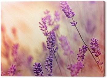 Canvas Print Soft focus on beautiful lavender and sun rays - sunbeams