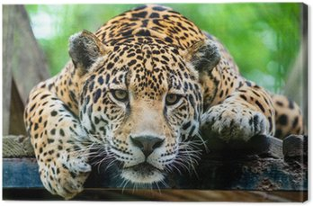 Canvas Print South American jaguar