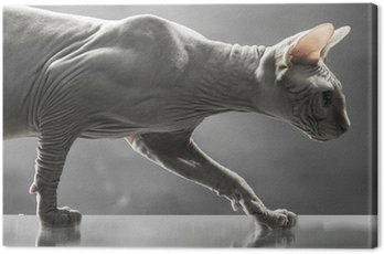 sphinx canadian cat on reflective surface Canvas Print