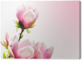 Canvas Print Spring Blossoms of a Magnolia tree