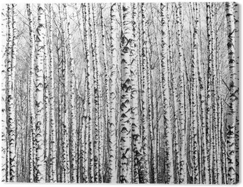 Canvas Print Spring trunks of birch trees black and white