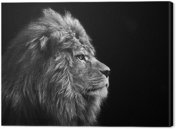 Stunning facial portrait of male lion on black background in bla Canvas Print