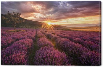 Stunning landscape with lavender field at sunrise Canvas Print
