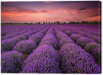 Canvas Print Stunning landscape with lavender field at sunset