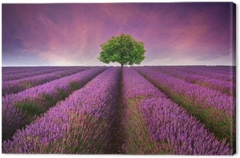 Stunning lavender field landscape Summer sunset with single tree Canvas Print