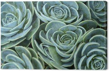 succulent plant