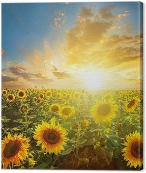 Canvas Print Summer landscape: beauty sunset over sunflowers field