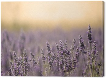 Summer Meadow with Flower. Lavender. Canvas Print
