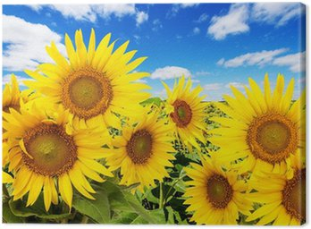 sunflower field and blue sky with clouds