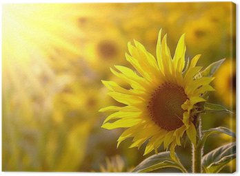Canvas Print Sunflower on a meadow in the light of the setting sun
